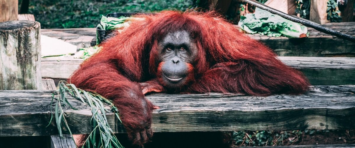Let's save the King of the Swingers - the Orangutan