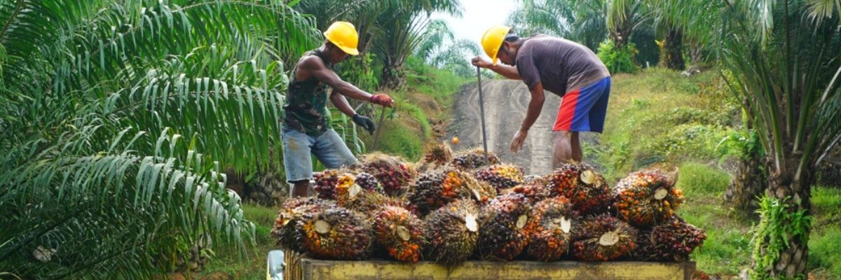 Men farming oil palms