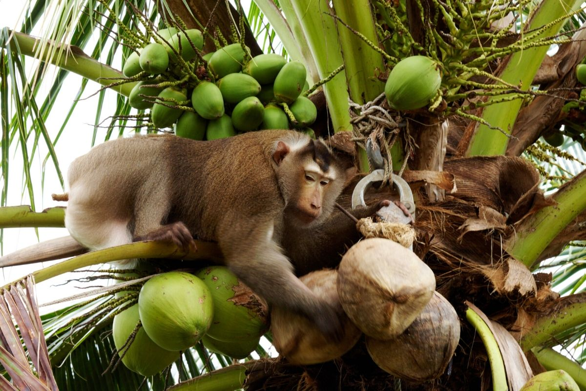 Are Monkeys Picking Coconuts: Myths & Truths