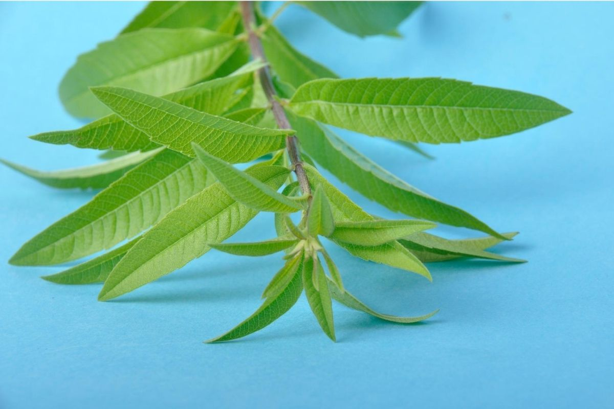 Lemon Verbena Uses 6 Reasons You Ll Love It