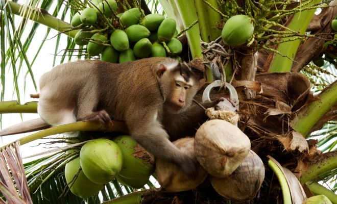 Monkeys Picking Coconuts - The Myths and Truths